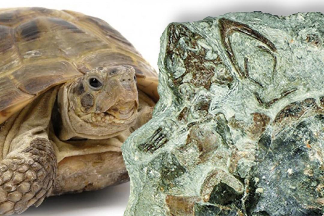 125 Milyon Yıllık Kaplumbağa Fosili Bulundu