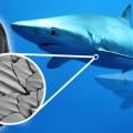 Deniz Altındaki Kusursuz Yüzücüler:  Köpek Balıkları
