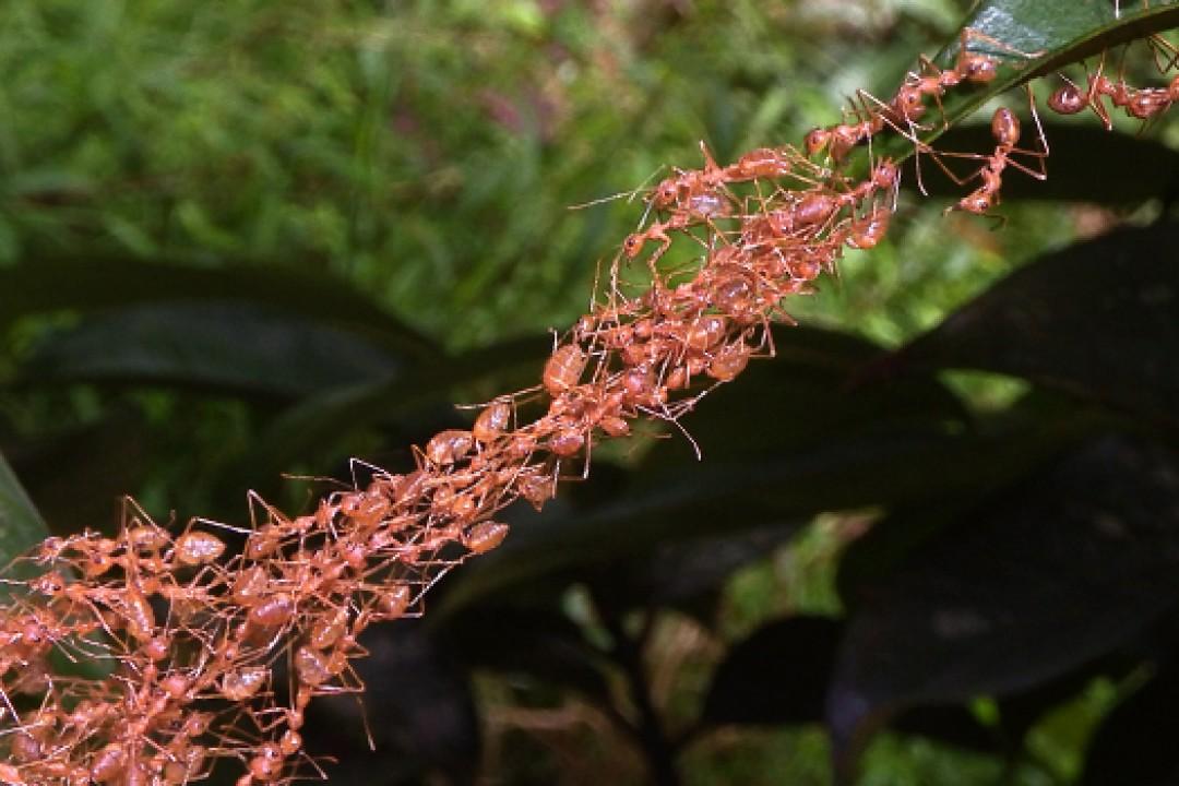 Karıncaların Benzersiz Köprü Kurma Teknikleri