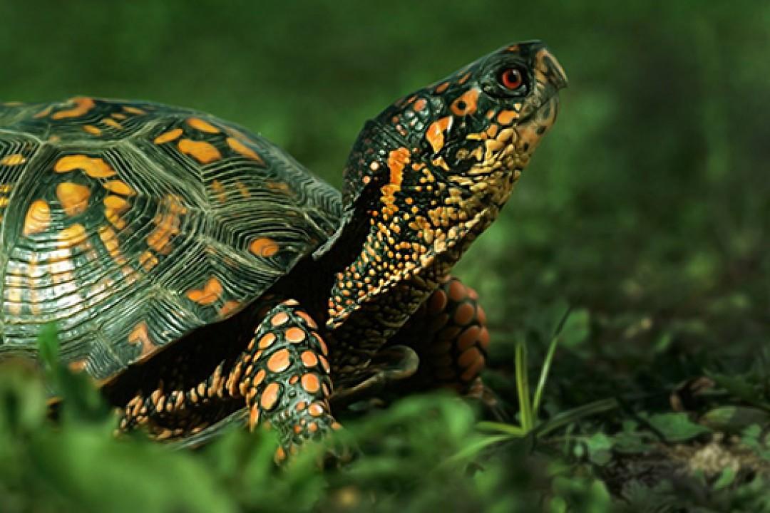 Kaplumbağa Zırhı